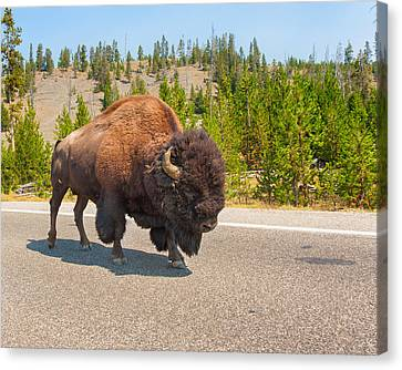 Canvas Print featuring the photograph American Bison Sharing The Road In Yellowstone by John M Bailey
