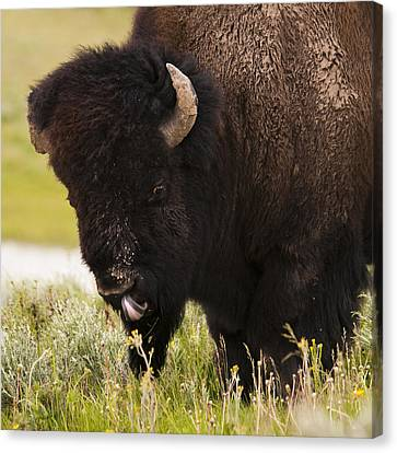 American Bison Tongue Canvas Print by Chad Davis