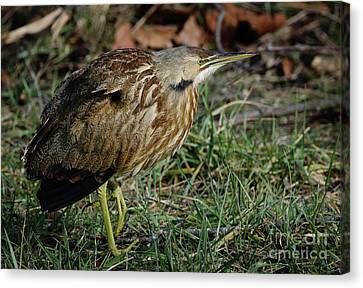 Canvas Print featuring the photograph American Bittern by Douglas Stucky