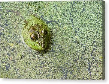 American Bullfrog Canvas Print by Sean Griffin