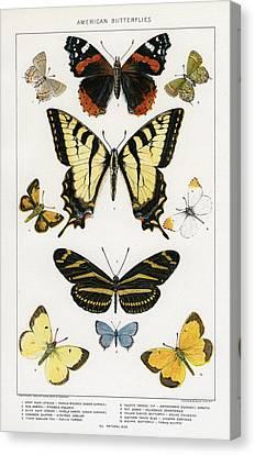 American Butterflies Canvas Print by Julius Bien