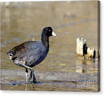 American Coot . 7d4818 Canvas Print by Wingsdomain Art and Photography
