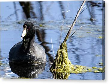 American Coot Canvas Print by Gary Wightman