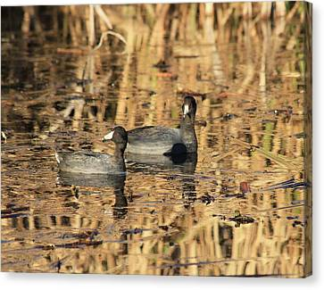 Canvas Print featuring the photograph American Coots by Jerry Battle