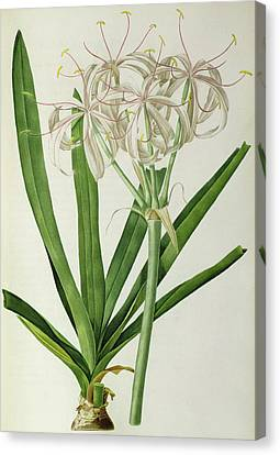 American Crinum Lily Canvas Print by Pierre Joseph Redoute