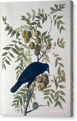 American Crow Canvas Print by John James Audubon