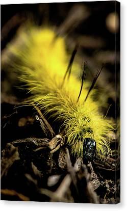 Canvas Print featuring the photograph American Dagger Moth Caterpillar by Onyonet  Photo Studios