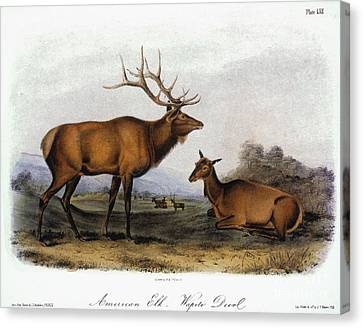 American Elk, 1846 Canvas Print by Granger