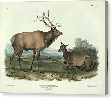 American Elk Canvas Print by John James Audubon