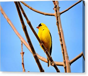 American Goldfinch Canvas Print by Connor Beekman