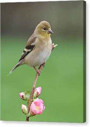 American Goldfinch Canvas Print by Doug Herr