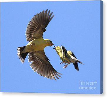 American Goldfinch Exchange Canvas Print by Wingsdomain Art and Photography