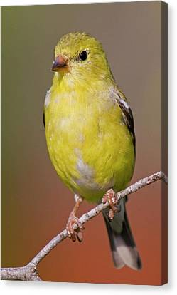 American Goldfinch  Female Canvas Print