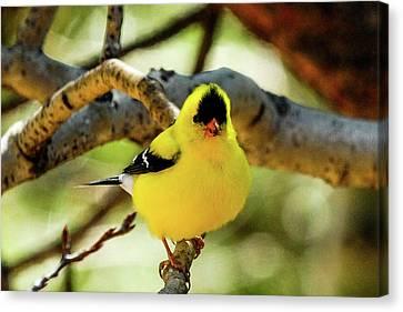 American Goldfinch On Aspen Canvas Print