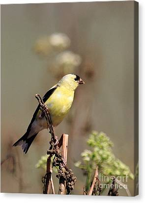 American Goldfinch Perched Canvas Print by Wingsdomain Art and Photography