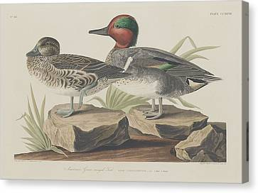 American Green-winged Teal Canvas Print by Rob Dreyer