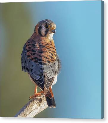 Canvas Print featuring the photograph American Kestrel 3 by Angie Vogel
