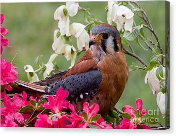 American Kestrel In The Springtime Canvas Print