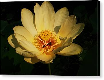 American Lotus Canvas Print by Ron Kruger