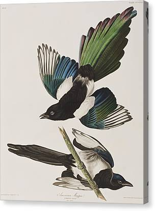 Magpies Canvas Print - American Magpie by John James Audubon