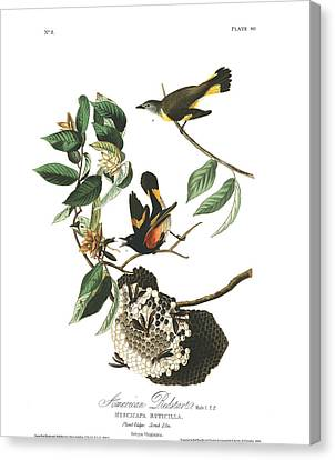 American Redstarts Canvas Print - American Redstart by MotionAge Designs