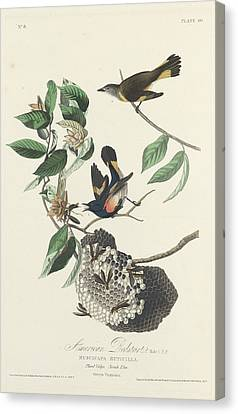 American Redstarts Canvas Print - American Redstart by Dreyer Wildlife Print Collections
