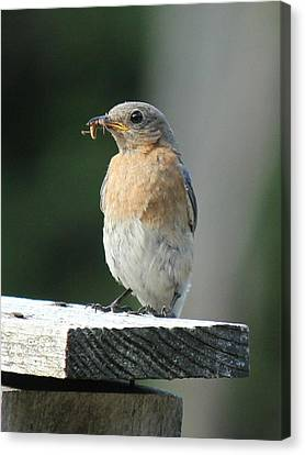 American Robin Canvas Print by Charles and Melisa Morrison