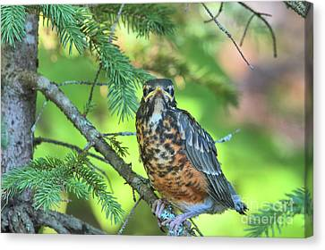 Canvas Print featuring the photograph American Robin Fledgling by Debbie Stahre