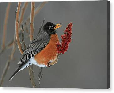 American Robin On Sumac Canvas Print