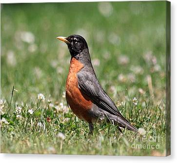 American Robin Canvas Print - American Robin by Wingsdomain Art and Photography
