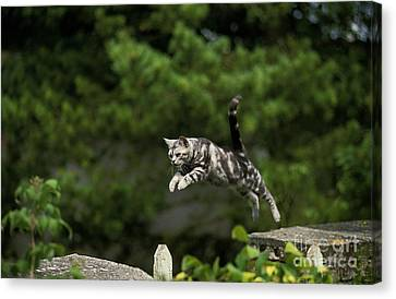 American Shorthair, Leaping Canvas Print