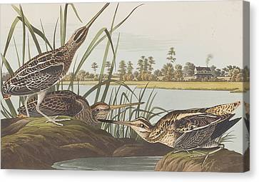 American Snipe  Canvas Print by John James Audubon