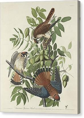 American Sparrow Hawk Canvas Print by Rob Dreyer