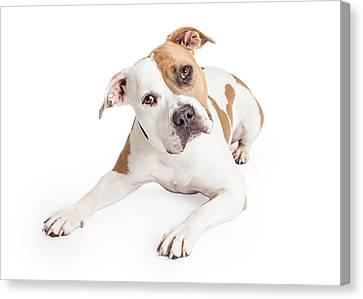 American Staffordshire Dog Laying Tilting Head Canvas Print