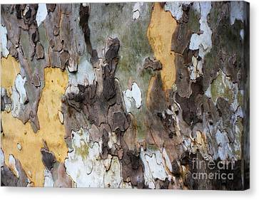 American Sycamore Bark Canvas Print by Patti Whitten