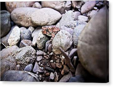 American Toad Canvas Print by Ryan Kelly