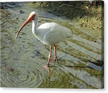 American White Ibis Canvas Print
