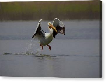 American White Pelican Da 2 Canvas Print by Ernie Echols