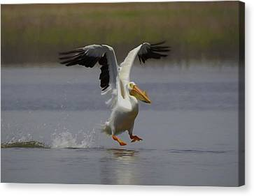 American White Pelican Da 3 Canvas Print by Ernie Echols