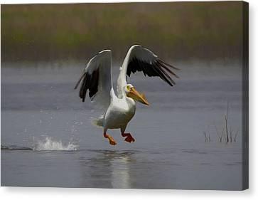 American White Pelican Da 4 Canvas Print by Ernie Echols