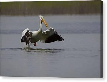 American White Pelican Da Canvas Print by Ernie Echols
