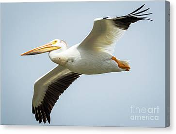 Canvas Print featuring the photograph  American White Pelican Flyby  by Ricky L Jones