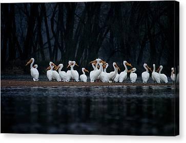 American White Pelican Canvas Print by Jane Melgaard