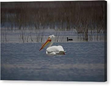 American White Pelican Searching Da Canvas Print by Ernie Echols