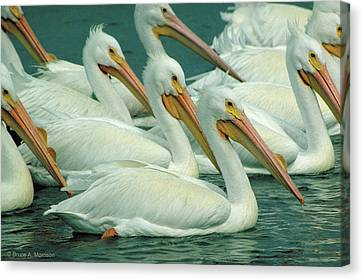 American White Pelicans Canvas Print by Bruce Morrison