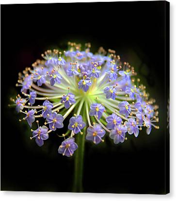 Amethyst Allium Canvas Print by Jessica Jenney