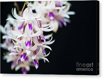 Amethyst Colored Dendrobium Canvas Print by Tim Gainey