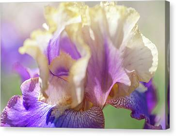 Amigos Guitar 2. The Beauty Of Irises Canvas Print