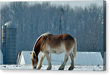 Amish Horse Canvas Print by Maria Suhr
