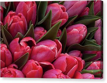 Amsterdam Red Tulips Canvas Print